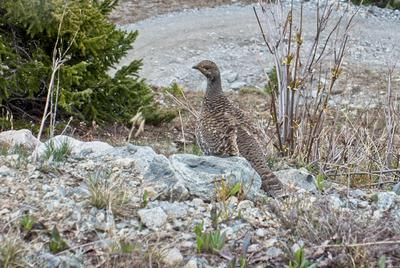 A ptarmigan by the road